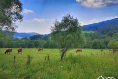 ropki-krowy-scaled