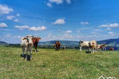 wawrzka-krowy-scaled