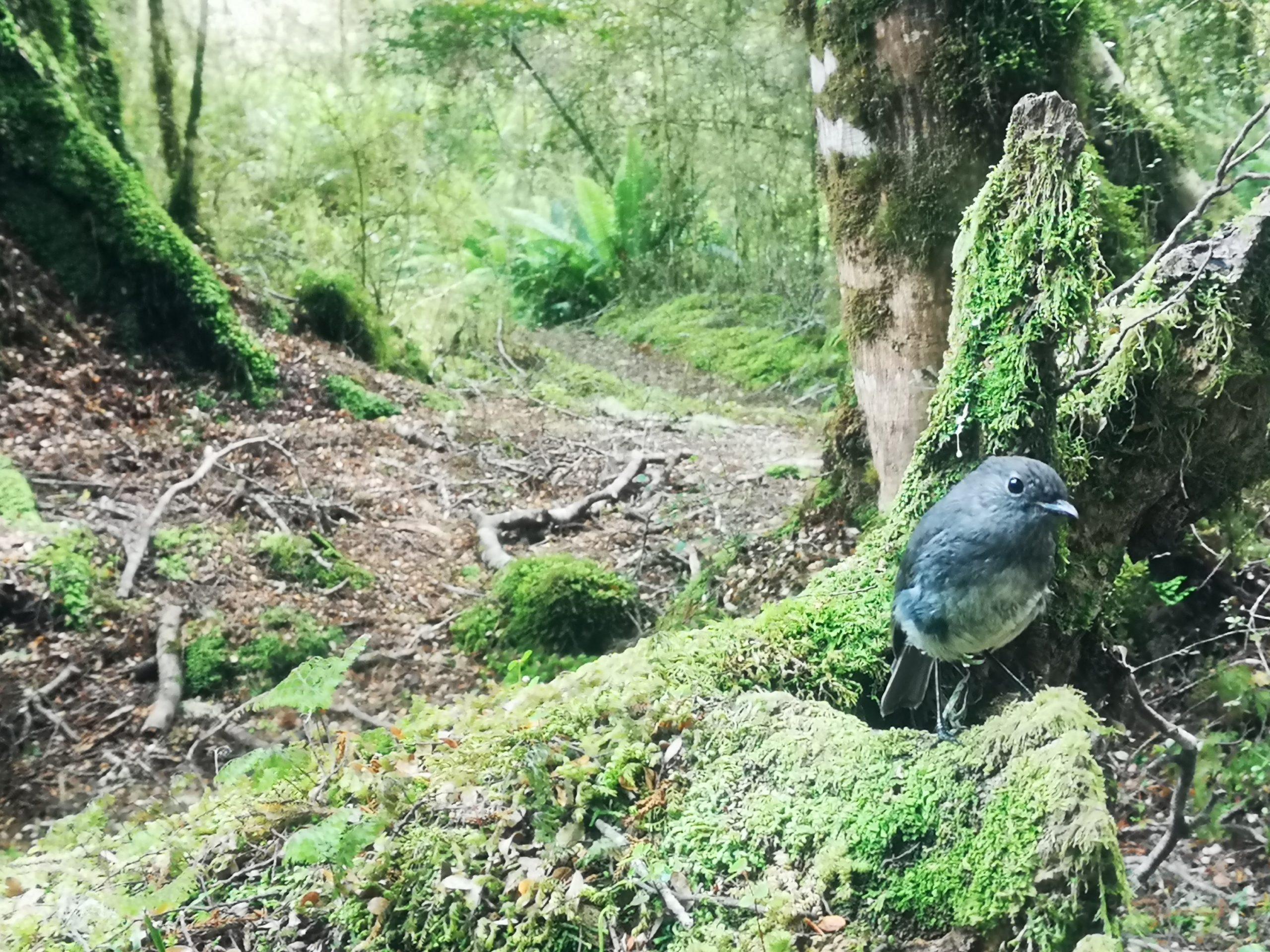 Ciekawski Skalinek Wielki (South Island Robin) - w ogóle się nas cwaniak nie bał!