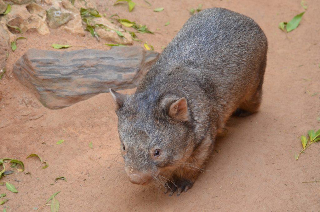 Australijskie symbole - wombat