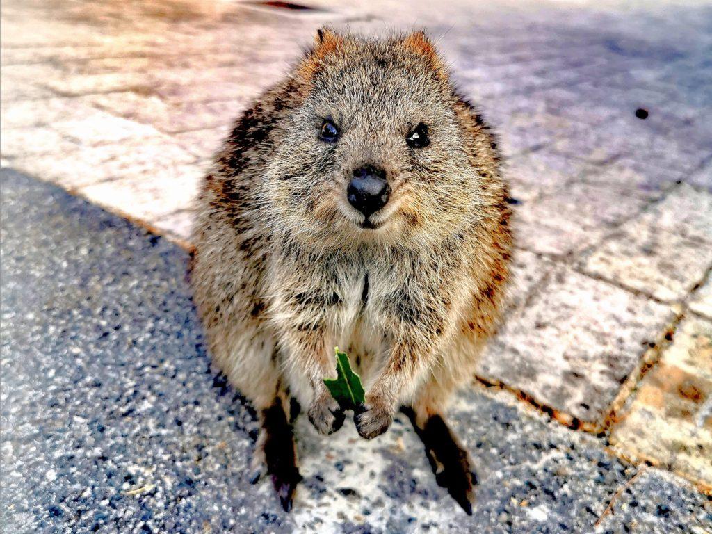 Zwierzęta Australii - quokka