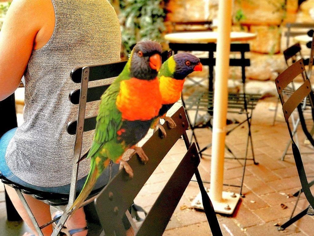 Australijskie ptaki - papużki