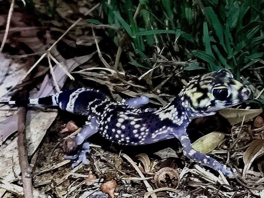 Zwierzęta Australii - gekon