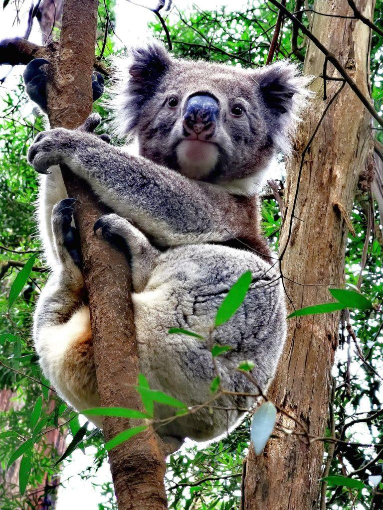 skojarzenia Australii - koale