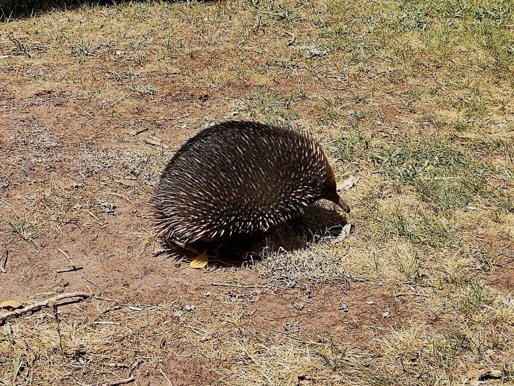 skojarzenia Australii - kolczatka
