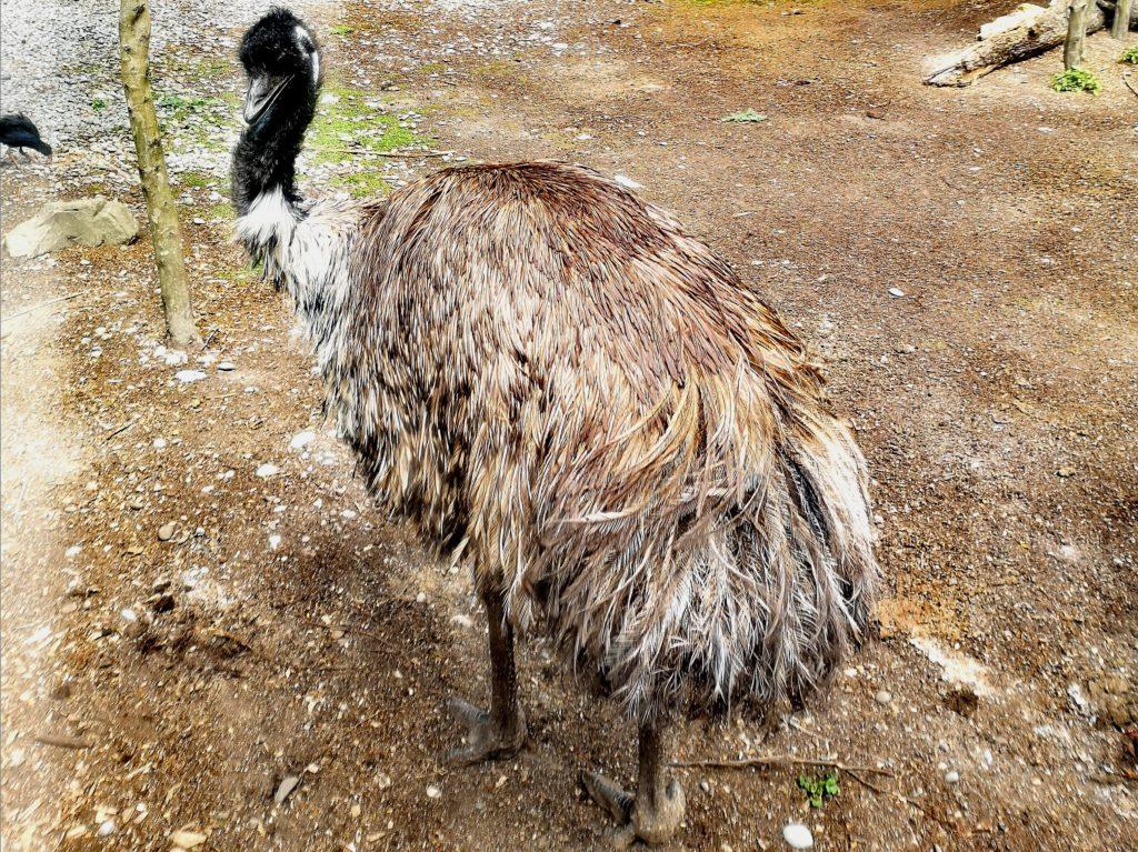 ciekawostki Australii - emu