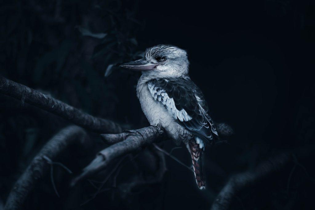 Zwierzęta Australii - kukabura